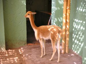 Vicuña at the Hotel-Hacienda Ocucaje, Ica.