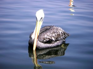 A pelican swimming near our boat before we head to the National Reserve of Paracas.