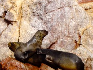 Sea lions sunbathing at the National Reserve of Paracas.
