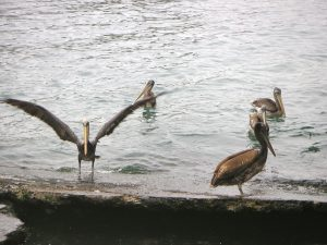 Pelicans at the Pucusana Fishing Dock.