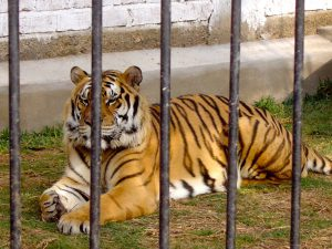 A tiger at the Granja 21 Restaurant and Zoo, Lima.