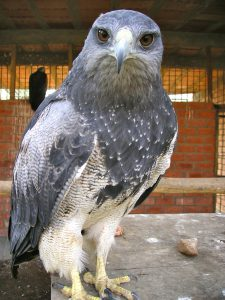 A falcon at the Granja 21 Restaurant and Zoo, Lima. He is amused by the click of my camera.
