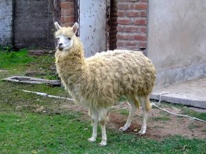 A llama at the Granja 21 Restaurant and Zoo, Lima.